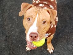 TO BE DESTROYED - 03/02/15-Manhattan Center CM HUNK aka CM PUNK - A1028069 *** RELEASED FROM DOH HOLD FOR RESCUE ONLY 2/28/15 *** MALE, BROWN, PIT BULL MIX, 1 yr, 6 mos STRAY - ONHOLDHERE, HOLD FOR DOH-HB Reason STRAY https://www.facebook.com/photo.php?fbid=970215069658039  https://www.facebook.com/Urgentdeathrowdogs/photos/a.611290788883804.1073741851.152876678058553/970215069658039/?type=3&theater