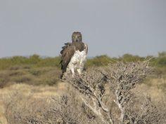 Martial Eagle - thanks to Dalene! :-)