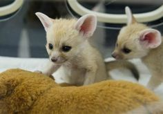 Two newborn fennec fox cubs being fed bottle in Smithsonian's National Zoo