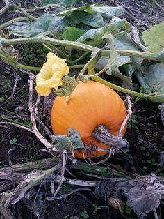 let's go to the pumpkin patch Pumpkin Vine, Seasonal Image, Autumn Scenes, Autumn Garden, Fall Harvest, Autumn Inspiration, Fall Pumpkins, Gourds, Fall Halloween