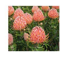 13 Protea - Pincushion Leucospermum a