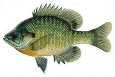 guide to choosing the right fish for your aquaponic system