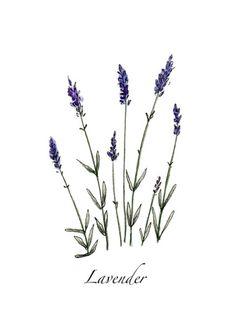 a sprig of lavender Botanical Drawings, Botanical Art, Botanical Illustration, Lavender Flowers, Lavander, Snapchat Stickers, Body Mods, Watercolor Paintings, Watercolor Journal