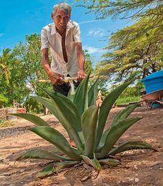 Te gusta el Cocuy? a nosotros sí. El licor tradicional venezolano que se toma aguantaíto. El Agave cocui es una planta silvestre que nace en las cordilleras del occidente venezolano especialmente al norte del estado Lara y al sur de Falcón. Nuestros indígenas gayones ayamanes jirajaras y achaguas antiguos pobladores de estas zonas áridas la utilizaban con fines medicinales religiosos alimenticios y artesanales pues el cocuy contiene una fibra muy suave llamada dispopo con la que se pueden…