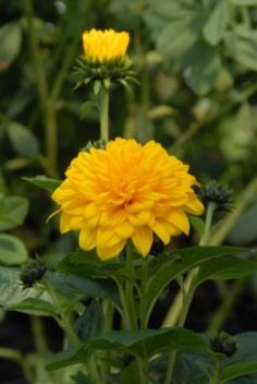 I am proud to be representing North Creek Nurseries in their introduction of a fantabulous new false sunflower (Helianthus x multiflorus) called 'Sunshine Yellow Perennials, Hardy Perennials, Hardy Plants, August Flowers, What Is Order, Mostly Sunny, Cut Flower Garden, Border Plants