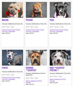 There are too many Pit Bulls in shelters - here's why.