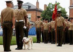 605addb6ff5 USMC Bulldog Mascot Cpl Sgt  Chesty XIII . -From Marine Barracks Washington
