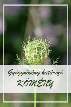 A Kömény népies neve:  Konyhakömény, köménymag.  Hogyan gyűjtsük a Kömény gyógynövényt?  A növény ikerkaszat termését hasznosítják gyógyászati célokra. Herb Garden, Health Remedies, Medical, Herbs, Healthy, Herbs Garden, Herb, Health, Medicine