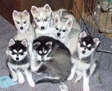 Alaskan Klee Kai puppies.