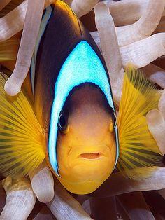 vvv Red Sea anemonefish