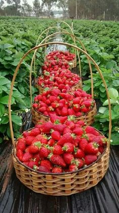 Food and Flavors Red Fruit, Fruit Art, Fruit And Veg, Fruits And Vegetables, Strawberry Farm, Strawberry Patch, Strawberry Fields, Fruit Plants, Fruit Garden