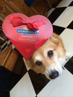 """Love ~ a matter of balance (and chocolate!)"" Adorable Pembroke Welsh Corgi Hazel, of Things on Hazel's head."