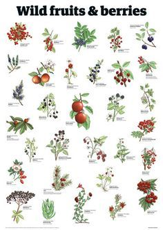 Wild fruits & berries - Guardian Wallchart Prints - Easyart.com