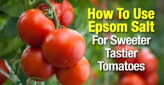 Tomato Pruning How To Use Epsom Salt For Sweeter Tastier Tomatoes - Using magnesium sulfate - epsom salt and tomato plants is known for providing wonderful benefits for tomatoes functioning as a plant fertilizer [LEARN MORE] Pruning Tomato Plants, Tomato Fertilizer, Tomato Farming, Fertilizer For Plants, Tomato Seedlings, Organic Fertilizer, Growing Tomatoes In Containers, Growing Vegetables, Grow Tomatoes
