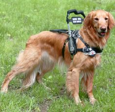 Mobility Support Harness for service dog