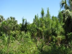 New generation of pines growing prolifically after prescribed burn.