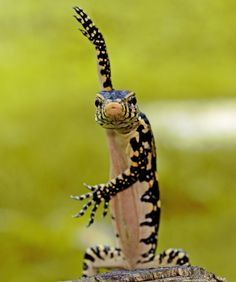 Karate Lizard
