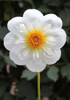 Dahlia 'Tahoma Angie' - If you like to cut flowers for arrangements, you can't… Flowers Nature, Exotic Flowers, Amazing Flowers, My Flower, Colorful Flowers, White Flowers, Beautiful Flowers, Beautiful Gorgeous, Flower Power
