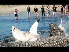Shark vs Crocodile Great Attack - Wild Animals Attack https://youtu.be/x5YU5FFpnk8