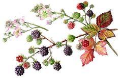 New flowers illustration botanical artists Ideas Botanical Tattoo, Botanical Drawings, Botanical Prints, Watercolor Leaves, Watercolor Art, Blackberry Tattoo, Tattoo Fleur, Illustration Botanique, Fruit Art
