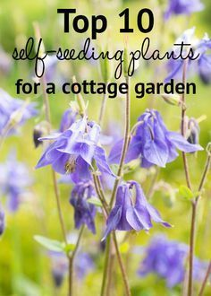 Top 10 self-seeding plants for a cottage garden. These low-maintenance self-seeding plants spread around your garden for a relaxed style