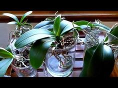 Converting your orchids to water culture. What to expect the first month. - YouTube