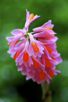 Dendrobium pseudoglomeratum, an orchid