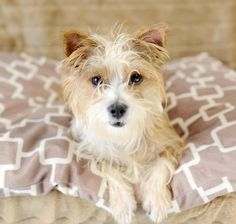 Cletus is an adoptable Yorkshire Terrier Yorkie searching for a forever family…