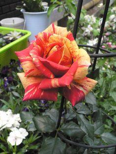 購入した時の花よりは少し小さいけど 家で開くとうれしいもんだ (ホーカス ポーカス・コルダナ