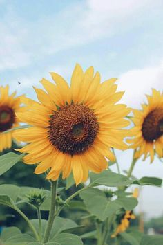 Growing Sunflowers, Sunflowers And Daisies, Yellow Flowers, Sun Flowers, Sunflower Iphone Wallpaper, Flowery Wallpaper, Cute Wallpapers, Wallpaper Backgrounds, Sunflower Photography