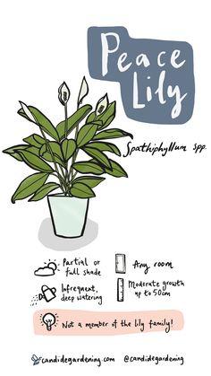 House Plants Decor, Plant Decor, Garden Plants, Indoor Plants, Peace Lily Care, Household Plants, Inside Plants, Plant Guide, House Plant Care