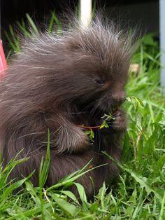 Ricky the baby Porcupine by KodaSilverwing