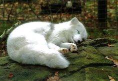 흉악한 북극 여우 - 동물/식물