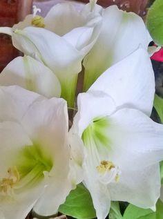 Meus amarilis brancos.. Atibaia -SP