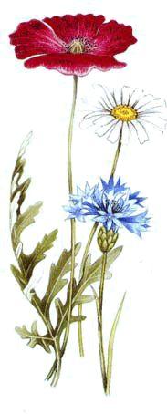 Salada do campo com Centáureas Azuis (Ricette coi fiori: Insalata di campo con fiordalisi.)