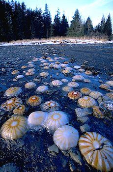 A group of jelly fish is called a Smack.