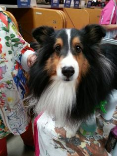 Tri Sheltie...We have 5 Shelties & one of them is a tri-black....Love our Shelties so much, never a dull moment at our house!!!