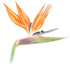 Bird of Paradise's watercolor from my Botanical Illustration classes.