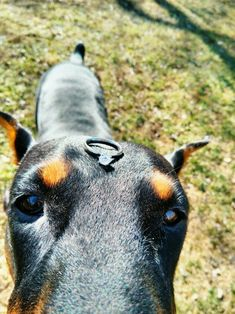 The Doberman Pinscher is among the most popular breed of dogs in the world. Known for its intelligence and loyalty, the Pinscher is both a police- favorite All Dogs, I Love Dogs, Best Dogs, Dogs 101, Black And Tan Terrier, Doberman Pinscher Dog, Doberman Love, Best Dog Training, Dog Hacks