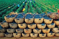 grape harvest baskets - Even now the earth could feed everyone on earth, if the greedy people were removed. But God will BLESS the earth, as he blessed Eden.