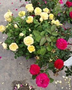 Flower of the Week: David Austin Rose - Edgewater-Davidsonville, MD Patch