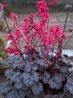 Heuchera 'Timeless Treasure' is a new variety that is a good companion plant for Hostas and adds color and texture to a shade garden. Hydroponic Growing, Hydroponic Gardening, Container Gardening, Organic Gardening, Colorful Flowers, Pink Flowers, Coral Bells Heuchera, Coral Bells Plant, Flower Spray