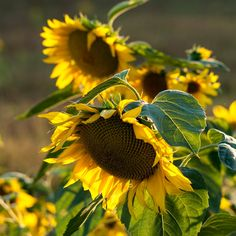 Love those big ones! Sunflower Garden, Sunflower Art, Happy Flowers, Beautiful Flowers, Sun Flowers, Sunflowers And Daisies, Growing Sunflowers, Sunflower Pictures, Sunflower Wallpaper