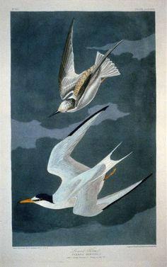 Botanical Illustration, Illustration Art, Vintage Illustrations, Vintage Birds, Vintage Art, Audubon Birds, Birds Of America, John James Audubon, Print Artist