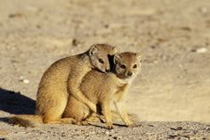 I took this shot of the two mongoose lovers just before sunset in the Nossob Camp, Kgalagadi Transfrontier Park.