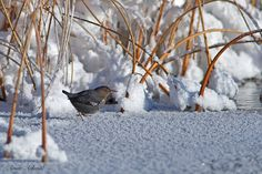 It was - 24 and with the wind it was around -38 Celsius degrees, that was not going to stop this American Dipper from being out there and looking for food in the open water. Amar