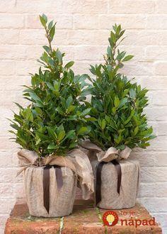 Buy bay laurel (pyramid) Laurus nobilis - Pyramidal pruned bay: Delivery by Waitrose Garden Evergreen Planters, White Planters, Planter Pots, Container Plants, Container Gardening, Laurus Nobilis, Winter Planter, Garden Arbor, Garden Care