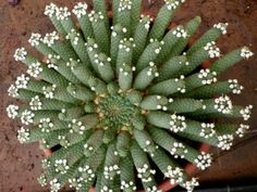 Euphorbia inermis (Green Crown, Medusa's Head) is a many-branched, medusa head Euphorbia up to 20 inches (50 cm) in diameter...