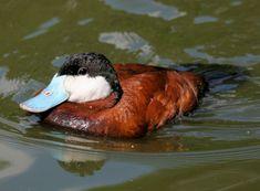 ruddy  We saw this duck at Busch Gardens Tampa.