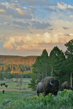 Bison at Yellowstone U.S.A………ALSO CALLED THE - AMERICAN BUFFALO - …..THIS SPECIES ONCE ROAMED UNHARMED IN THE THOUSANDS………..ccp